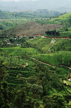 cejlon plantacje