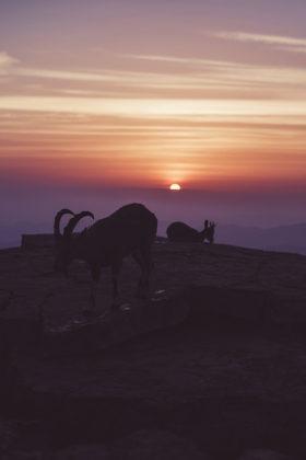 ibex in israel, mitzpe ramon