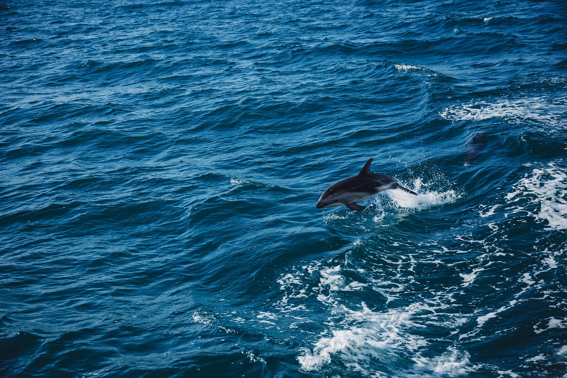 delfin kaikoura
