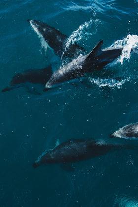 delfiny kaikoura