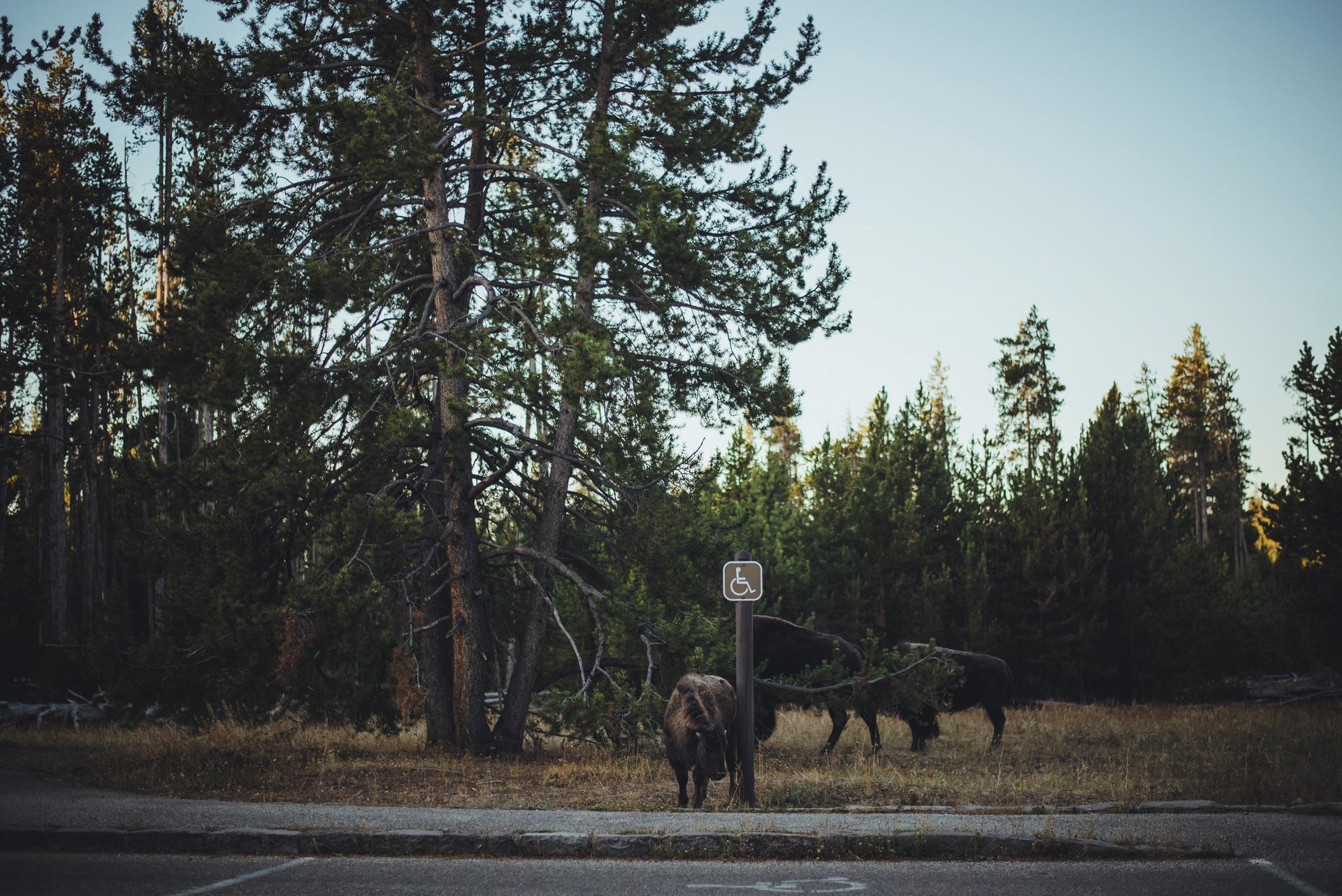 zwiedzanie yellowstone bizony