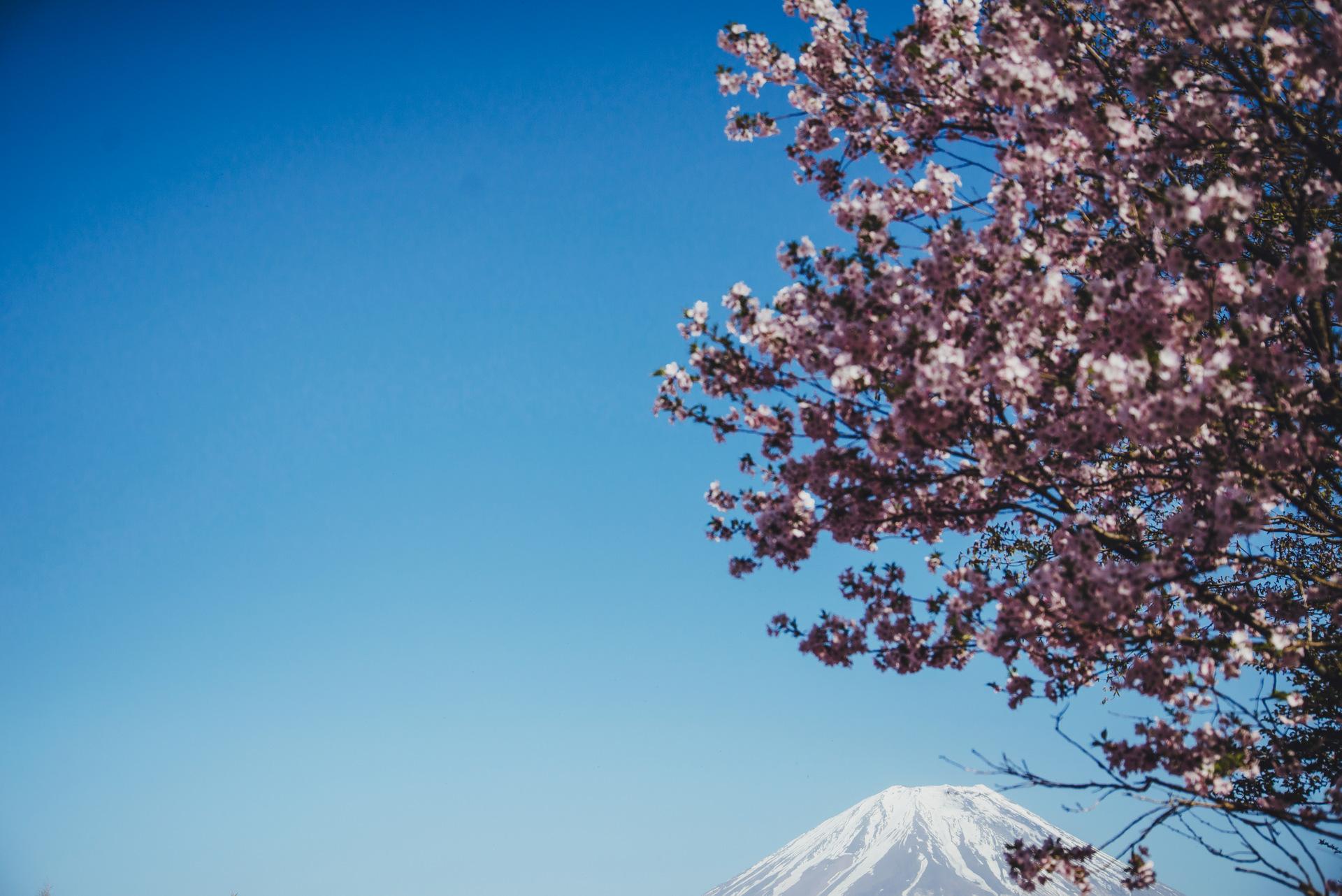 sakura gora fuji