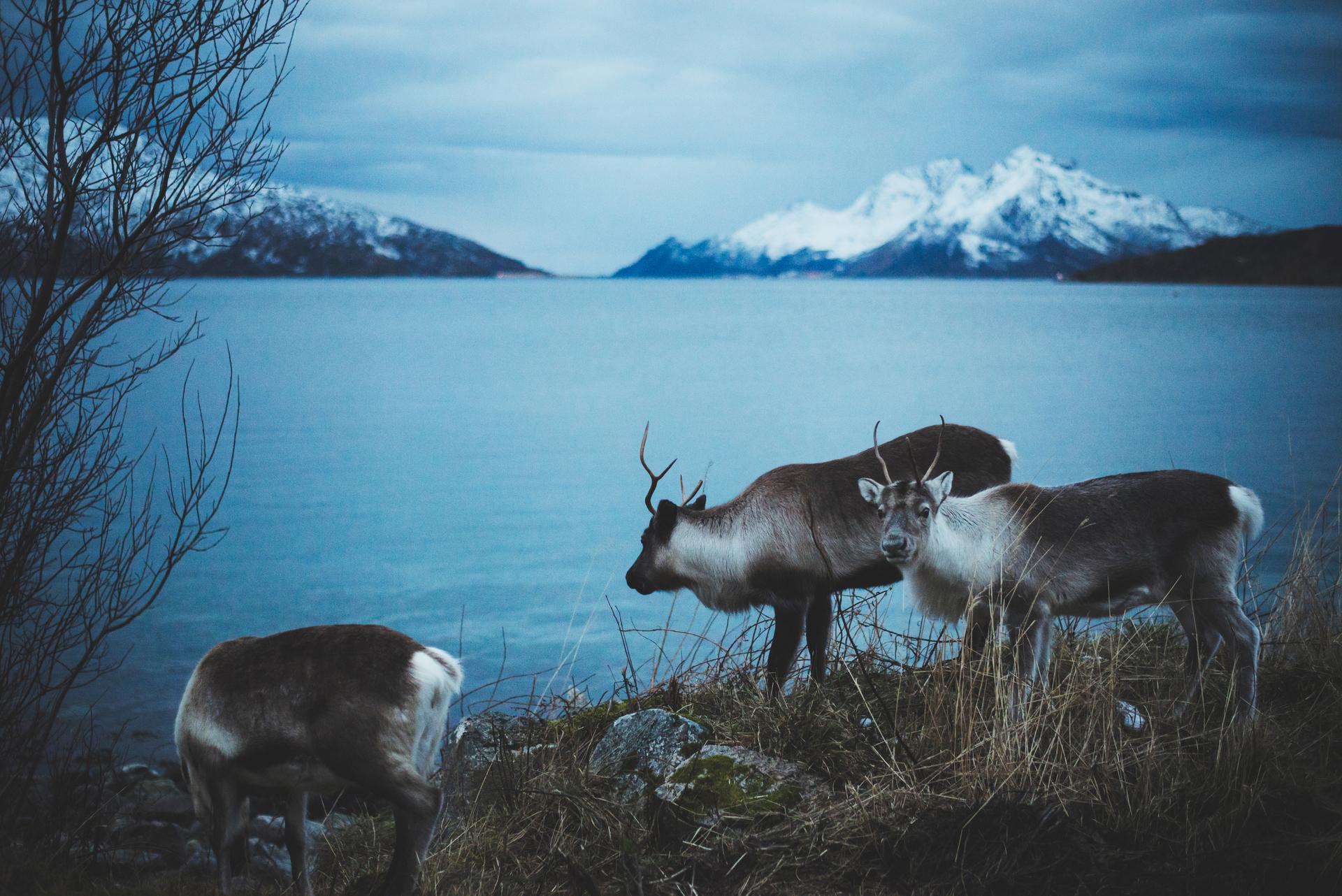 renifery norwegia