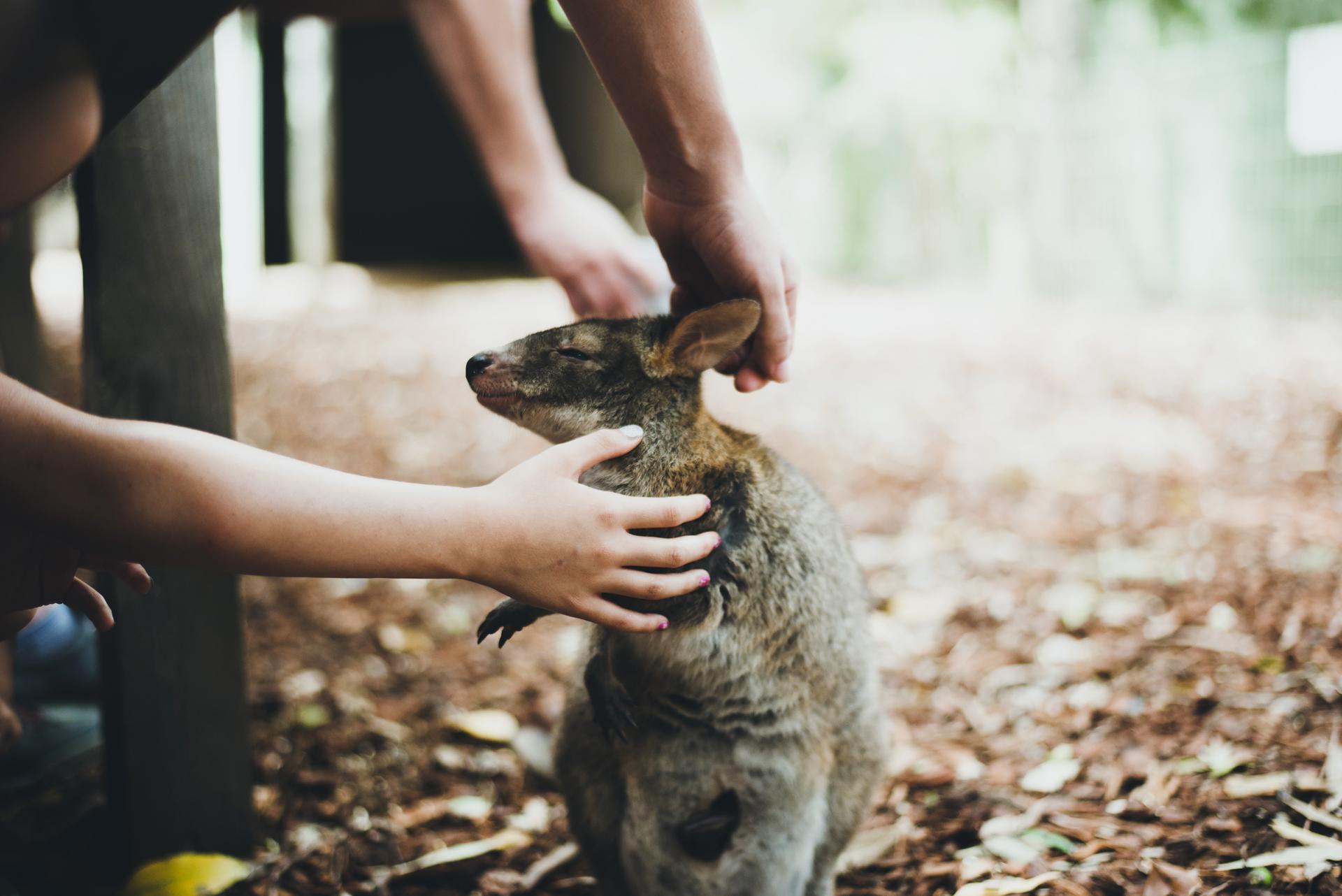 pademelon australia