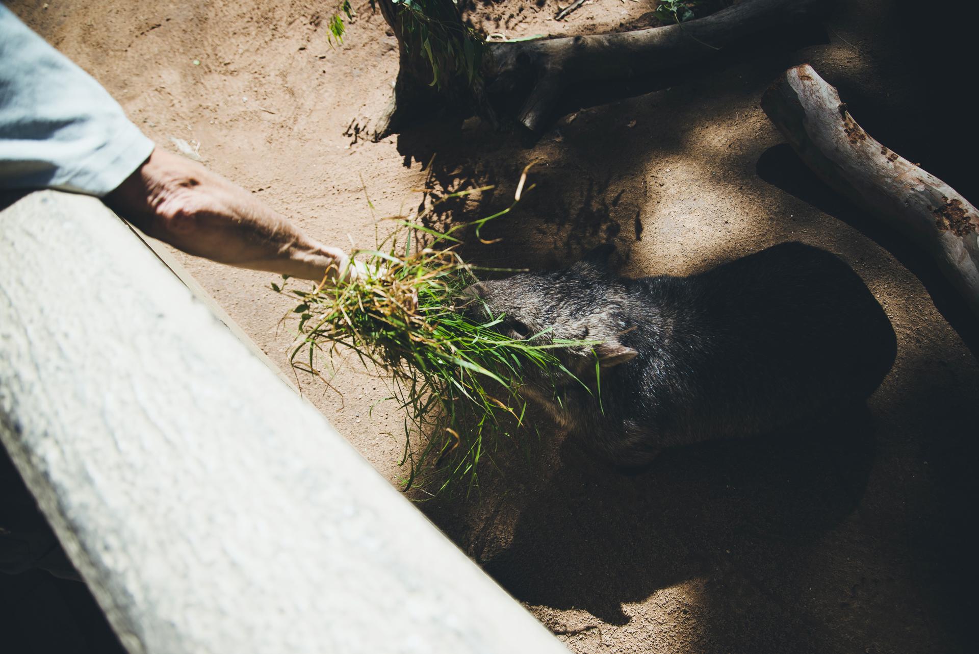 wombat sydney zoo