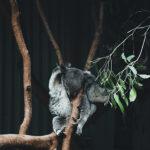 Koala i s-ka. Gdzie w Sydney zobaczyć zwierzęta Australii?