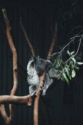 miś koala zwierzęta w Australii