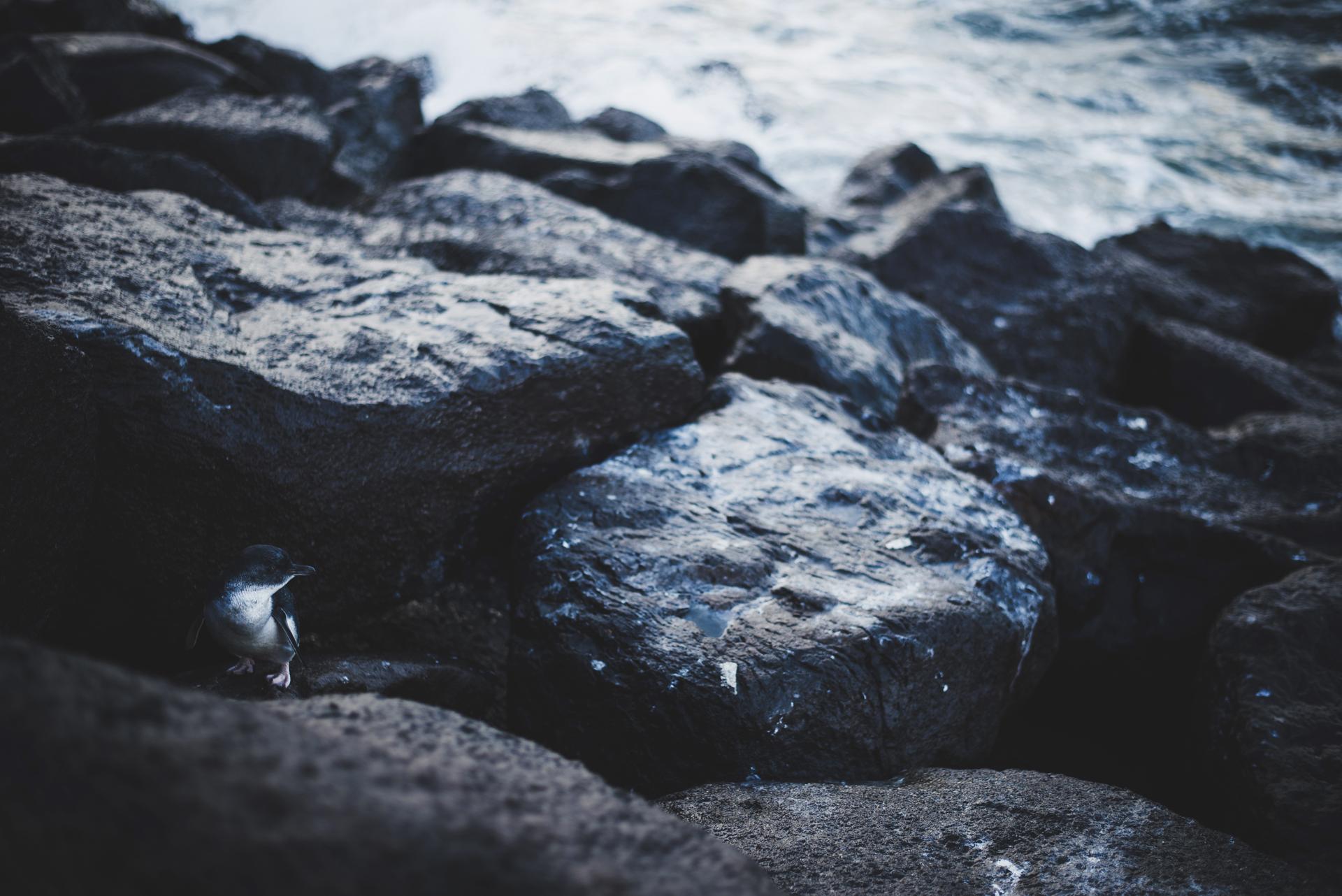 pingwiny w melbourne st kilda