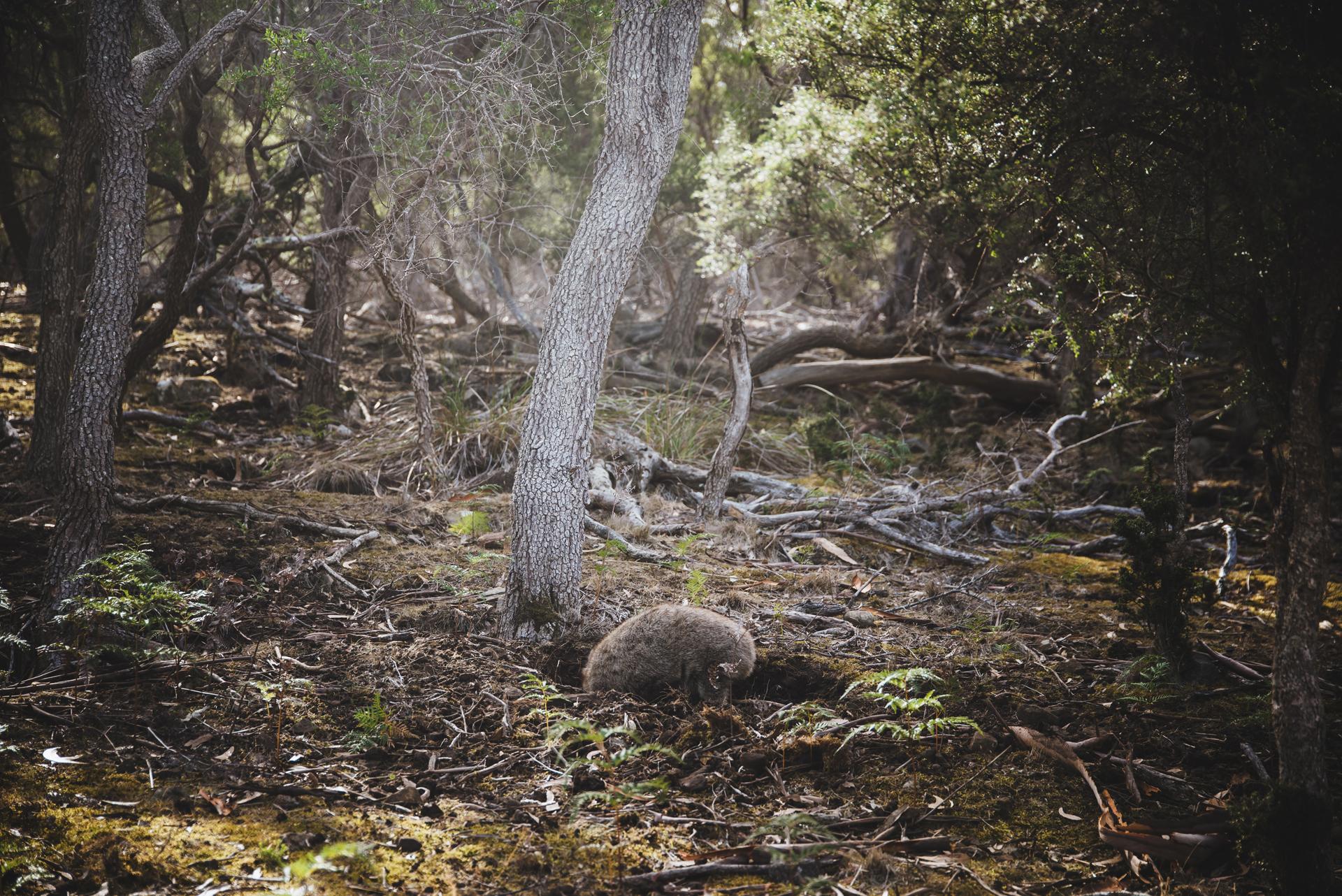 tasmania wombat