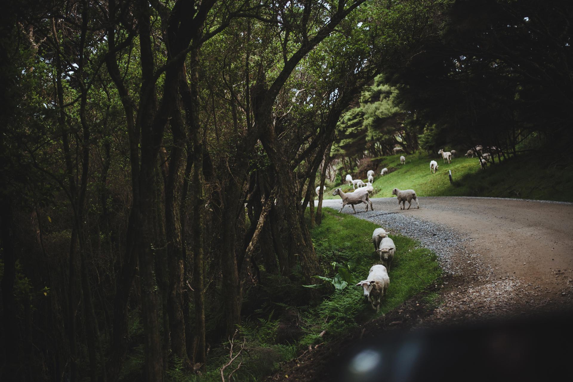 owce nowa zelandia