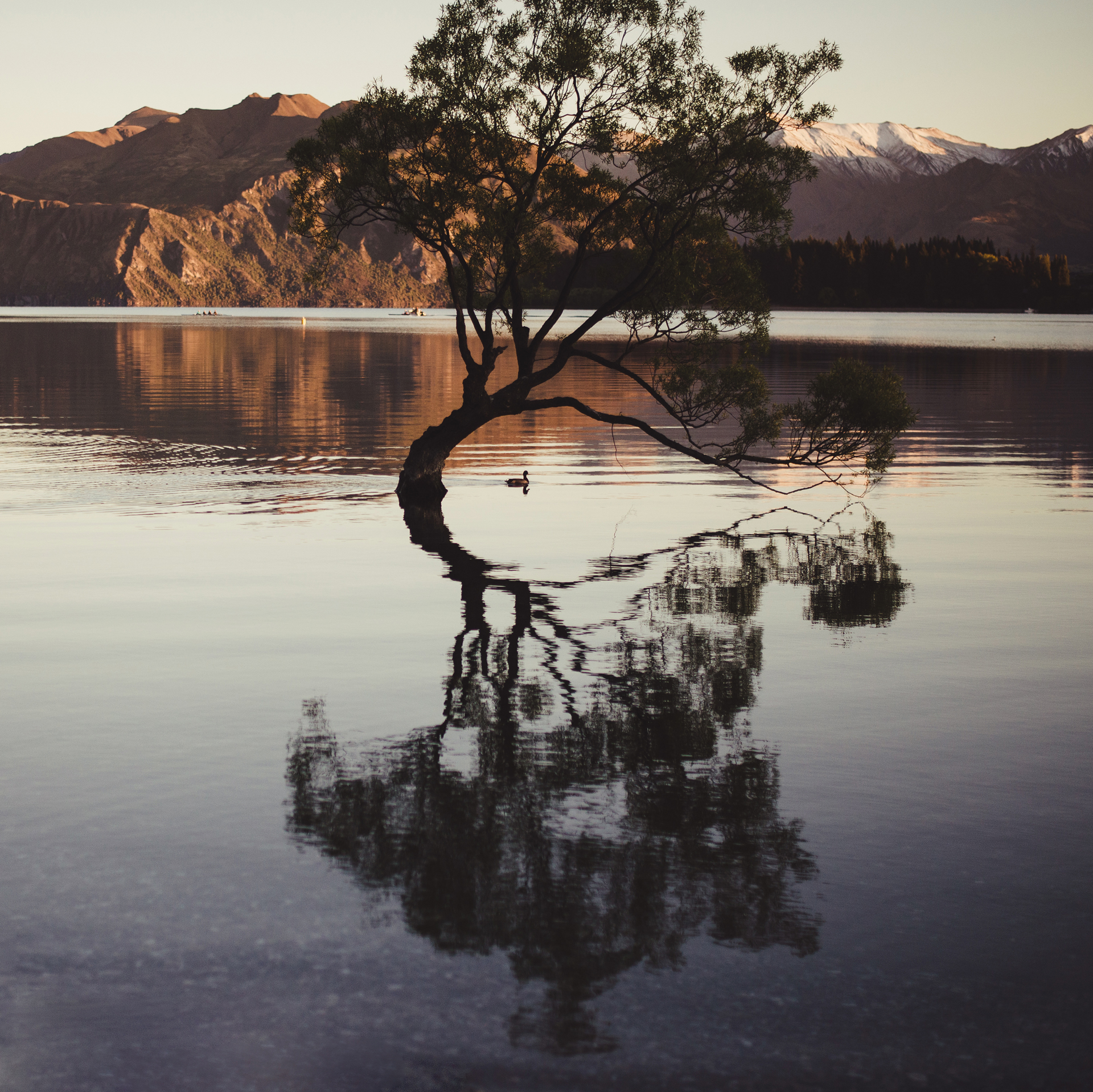 wanaka drzewo nowa zelandia